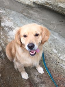 woody is a rescue golden retriever